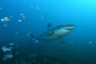 Portrait of a Great White Shark, Carcharodon Carcharias, Swimming Among a School of Fish