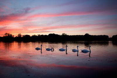 Mute Swans, Cygnus Olor, Swim on Pen Ponds at Sunset in Richmond Park