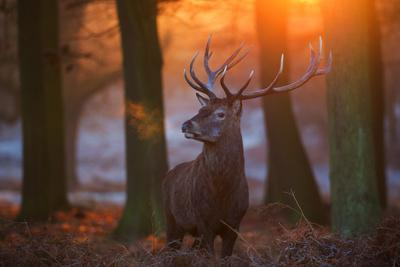 A Large Majestic Red Deer Stag in the Orange Early Morning Glow in Richmond Park
