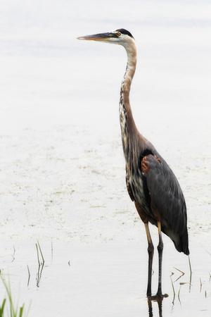 Portrait of a Great Blue Heron, Ardea Herodias, Wading in the Water