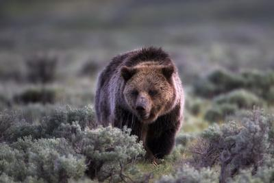 Portrait of a Grizzly Bear, Ursus Arctos, Walking Through Brush