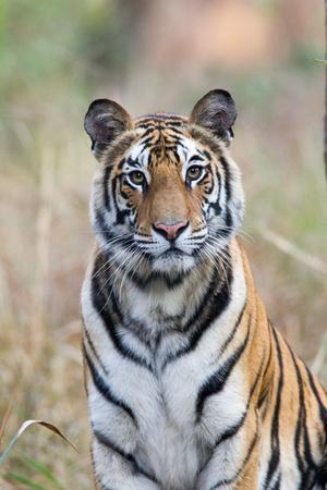 Portrait of a Bengal Tiger, Panthera Tigris Tigris