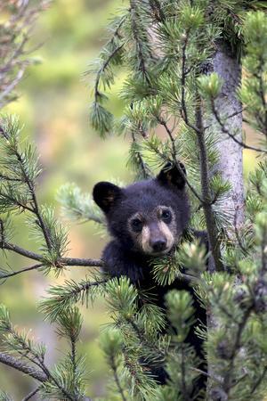 Portrait Of A Black Bear Cub Ursus Americanus Climbing