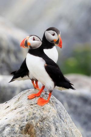 A Pair of Atlantic Puffins, Fratercula Arctica, Resting on a Rock Near their Nest