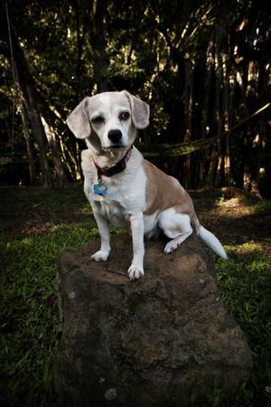 A Dog Poses on a Tree Stump on the Big Island of Hawaii