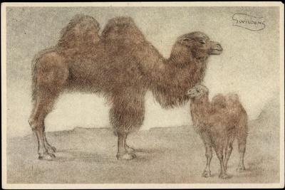 Künstler Swildens, Zwei Kamele, Junges, Zwei Buckel