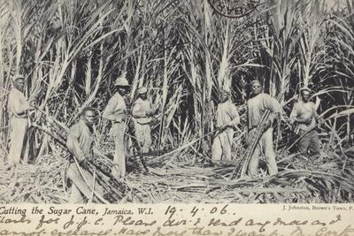 Cutting the Sugar Cane, Jamaica, West Indies