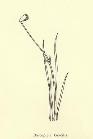 Baccopipia Gracilis