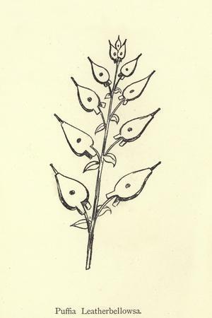 Puffia Leatherbellowsa