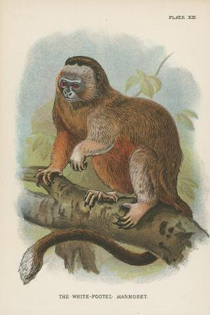 The White-Footed Marmoset