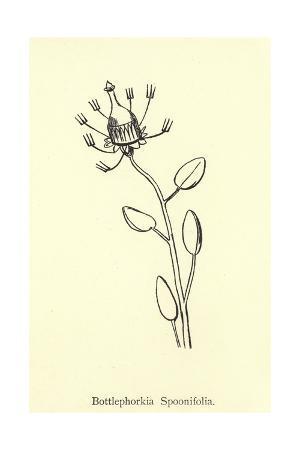 Bottlephorkia Spoonifolia