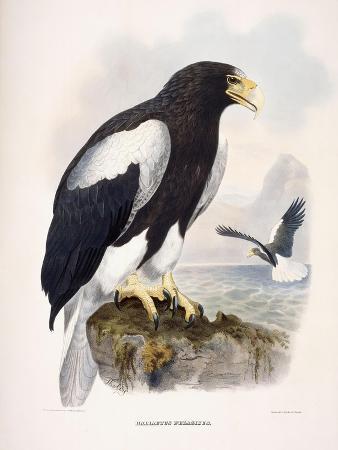 Haliaetus Pelagicus