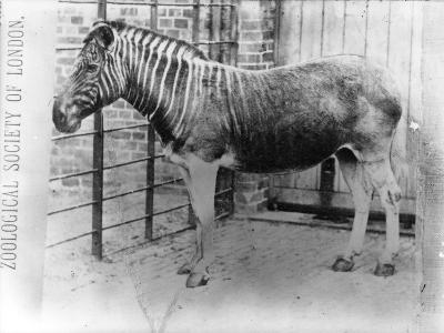 Quagga at Zsl London Zoo, Probably Summer 1870