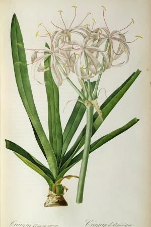 Crinum Americanum, from Les Liliacees, 1805-16