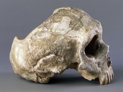 Skull of Homo Sapiens