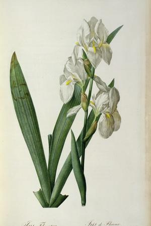 Iris Florentina, from `Les Liliacees', 1805