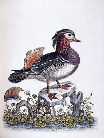 Chinese Teal, 1746
