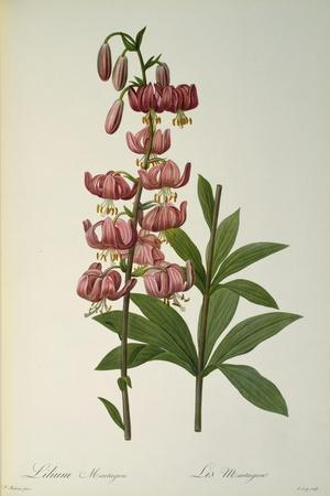 Lilium Martagon, from Les Liliacees, 1806