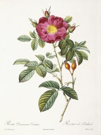 Rosa Damascena Coccina