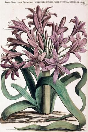 Lillio-Narcissus , 1697-1701