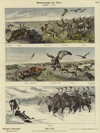 Migrations of Animals