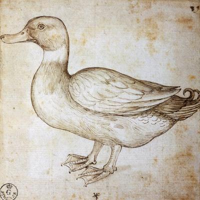 Animal Studies: Duck