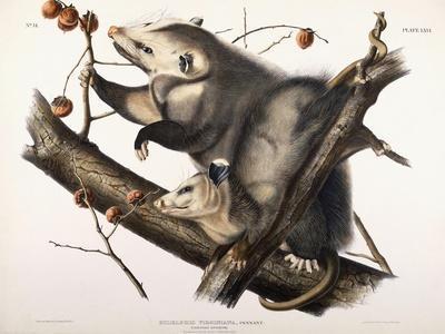 Virginian Opossum, 1845