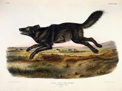 Black American Wolf, Male, 1845