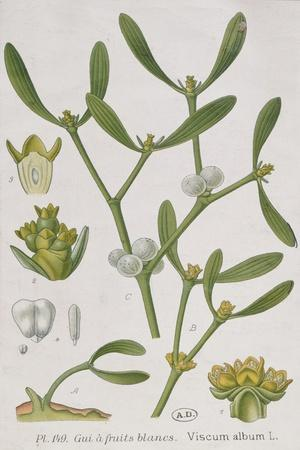 Mistletoe, from 'A Curious Herbal', Published in Nuremburg in 1757