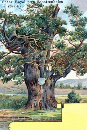 Royal Oak Near Schattenhofen, Bavaria, Germany, 1901