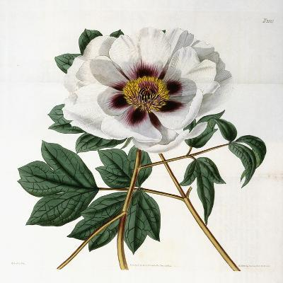 Paeonia Suffruticosa Andr. Var. Papaveracea, 1788-1896