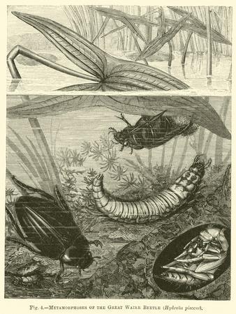 Metamorphoses of the Great Water Beetle, Hydrous Pisceus