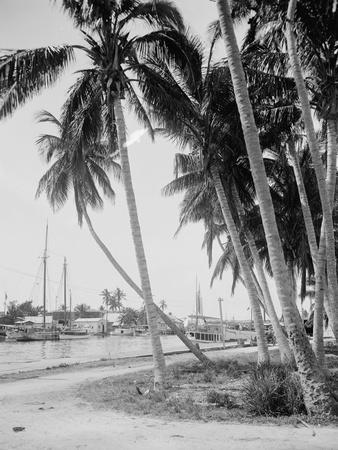 Coconut Trees Along the Docks, Miami, Florida, C.1900-15