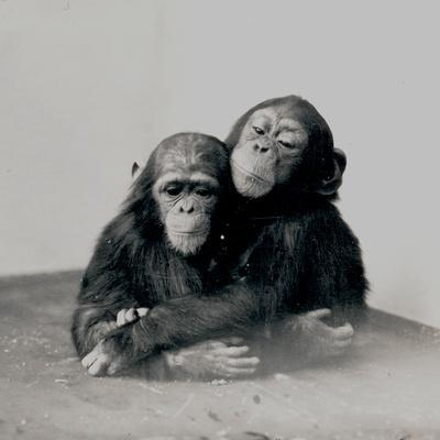 Johnnie and a Friend, Two of ZSL London Zoo's Chimpanzees, 1923
