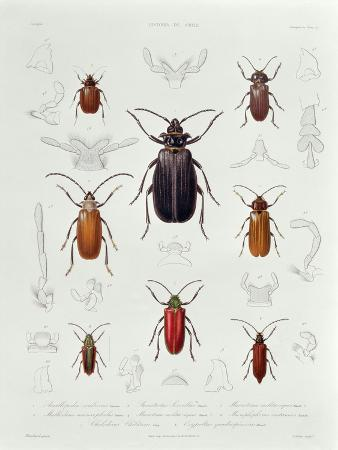 A Collection of Coleoptera Found in Chile