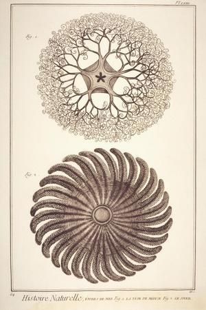 Plate Showing Jellyfish and Cnidarian