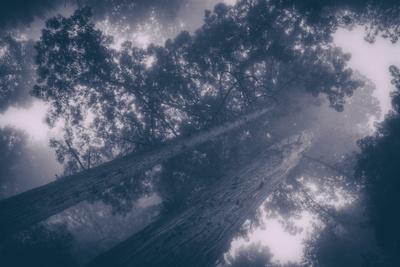 Redwood Tree Tops in Fog, Northern California Coast