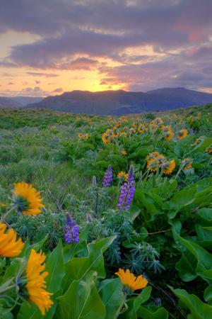Sunrise and Flower Field, Columbia River Gorge, Oregon