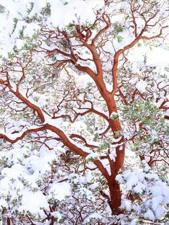 USA, California. a Snow-Covered Manzanita Bush