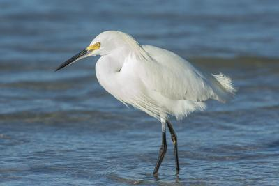 USA, Florida, New Smyrna Beach, Snowy Egret