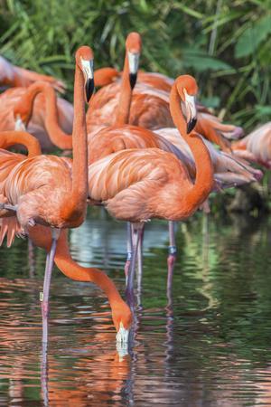 USA, Florida, Orlando, Pink Flamingos, Gatorland