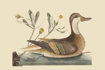 Bahama or Hathera Duck