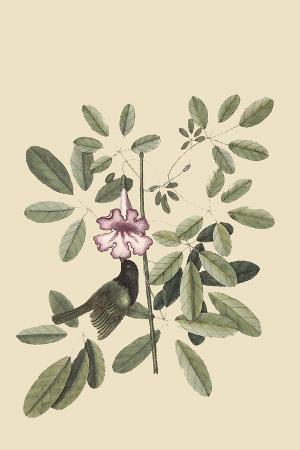 Bahama Sparrow