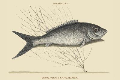 Bone Fish - Sea Feather