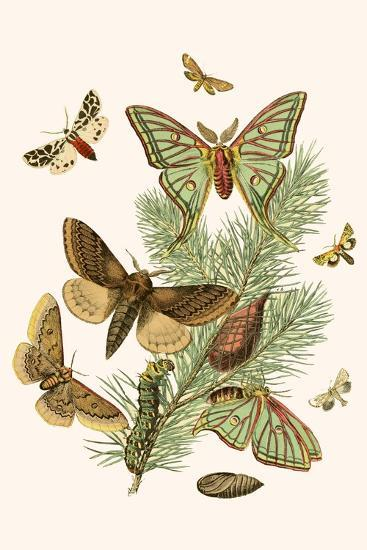 European Butterflies And Moths Prints W F Kirby Allposters Com
