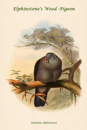 Palumbus Elphinstonei - Elphinstone's Wood -Pigeon