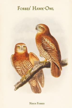 Ninox Forbesi - Forbes' Hawk-Owl