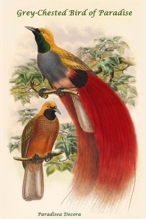Paradisea Decora - Grey-Chested Bird of Paradise