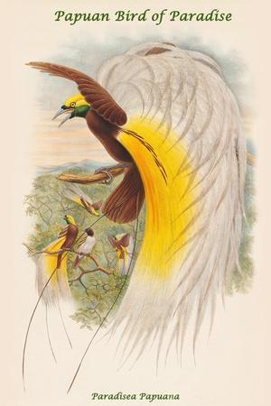 Paradisea Papuana - Papuan Bird of Paradise