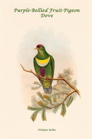 Ptilopus Bellus - Purple-Bellied Fruit-Pigeon - Dove
